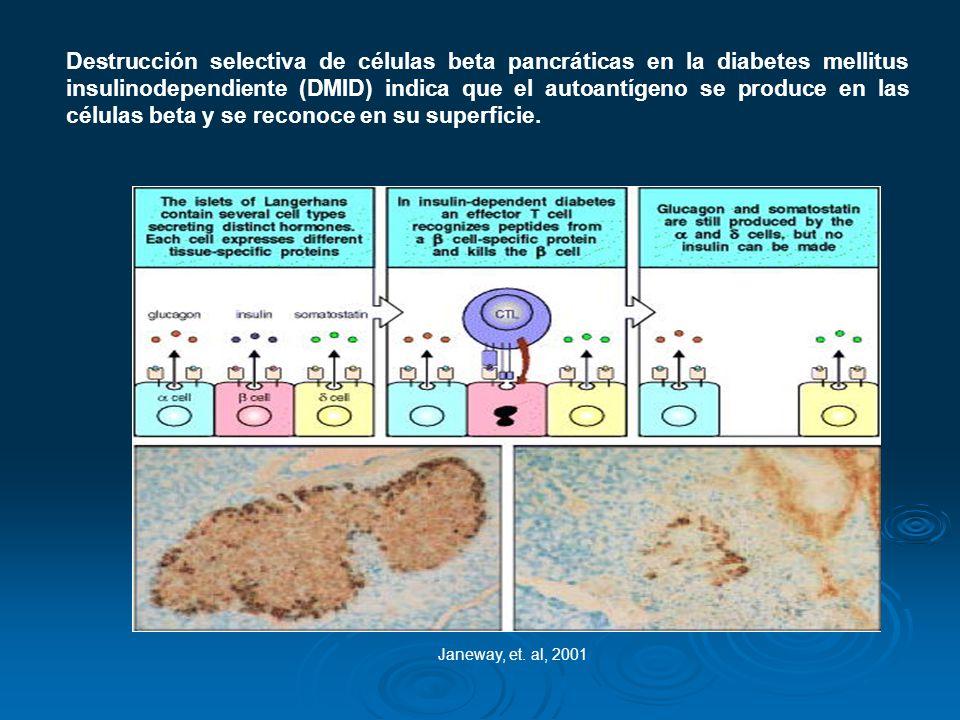 Destrucción selectiva de células beta pancráticas en la diabetes mellitus insulinodependiente (DMID) indica que el autoantígeno se produce en las células beta y se reconoce en su superficie.