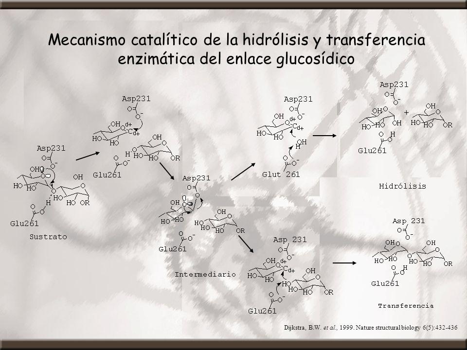 Mecanismo catalítico de la hidrólisis y transferencia enzimática del enlace glucosídico
