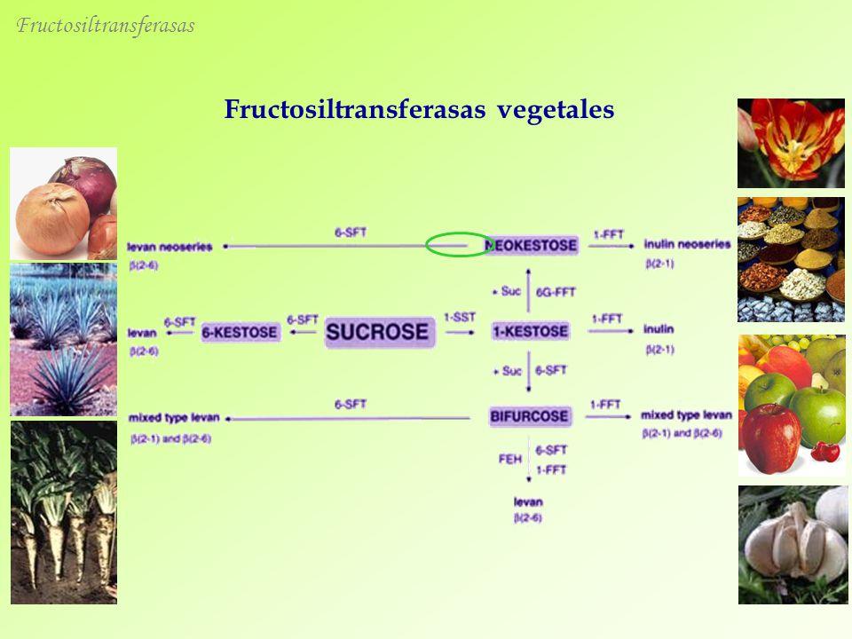 Fructosiltransferasas vegetales