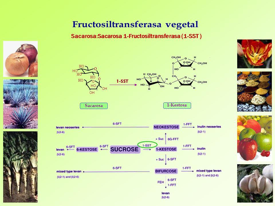 Sacarosa:Sacarosa 1-Fructosiltransferasa (1-SST )
