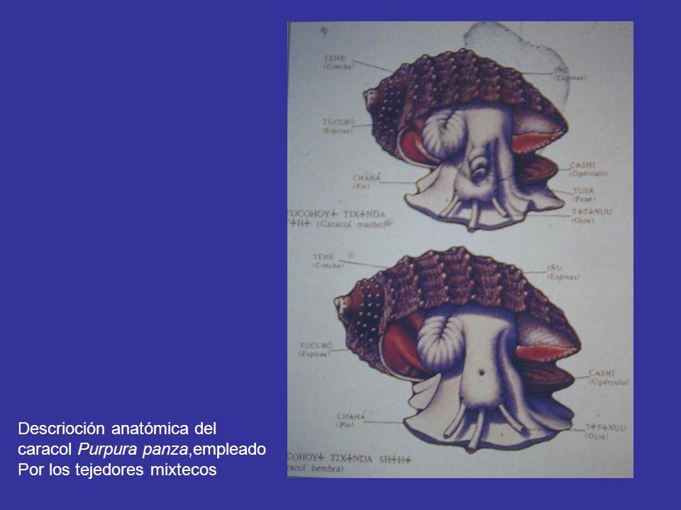 Descrioción anatómica del