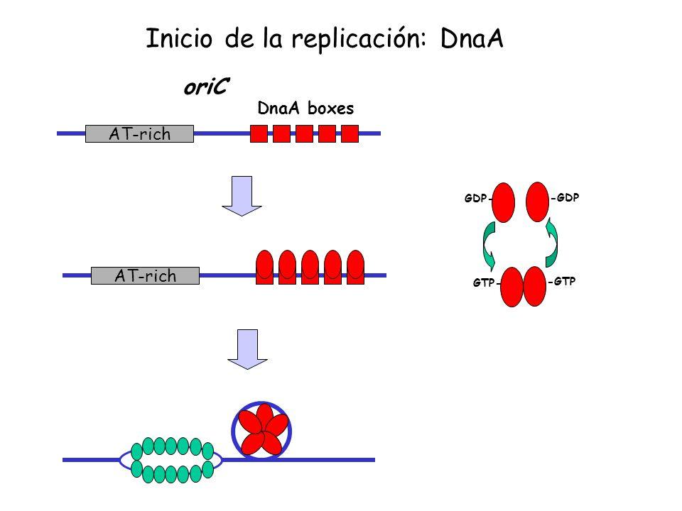 Inicio de la replicación: DnaA