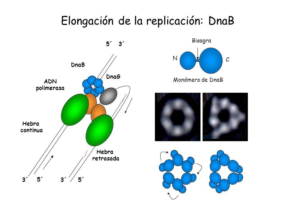 Elongación de la replicación: DnaB