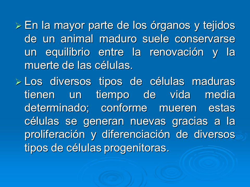 En la mayor parte de los órganos y tejidos de un animal maduro suele conservarse un equilibrio entre la renovación y la muerte de las células.