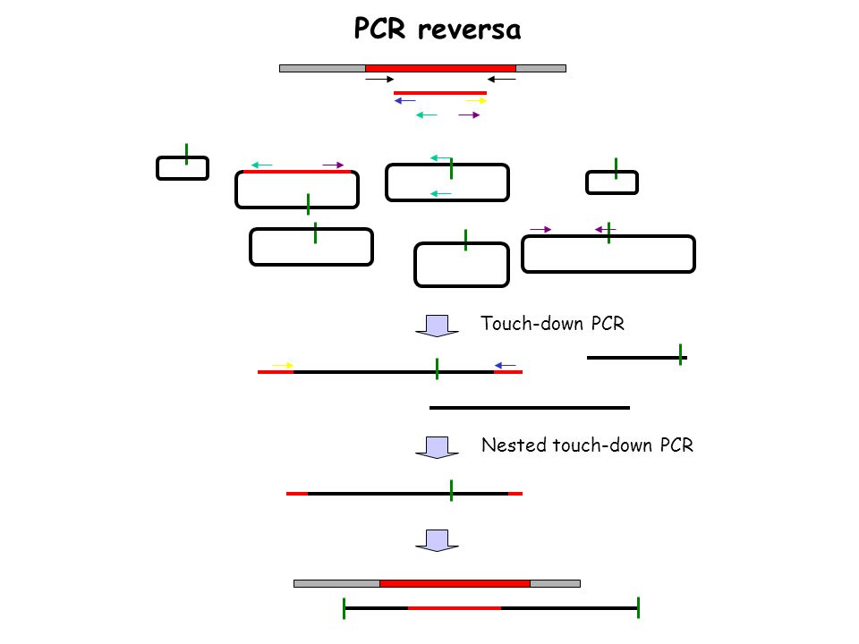 PCR reversa Touch-down PCR Nested touch-down PCR