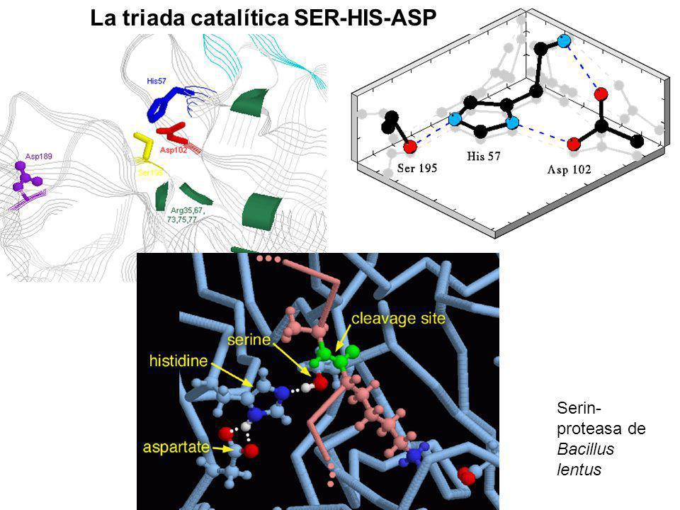 La triada catalítica SER-HIS-ASP