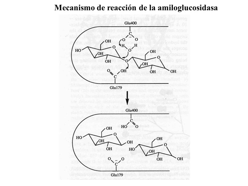 Mecanismo de reacción de la amiloglucosidasa