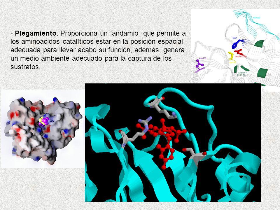 Plegamiento: Proporciona un andamio que permite a los aminoácidos catalíticos estar en la posición espacial adecuada para llevar acabo su función, además, genera un medio ambiente adecuado para la captura de los sustratos.