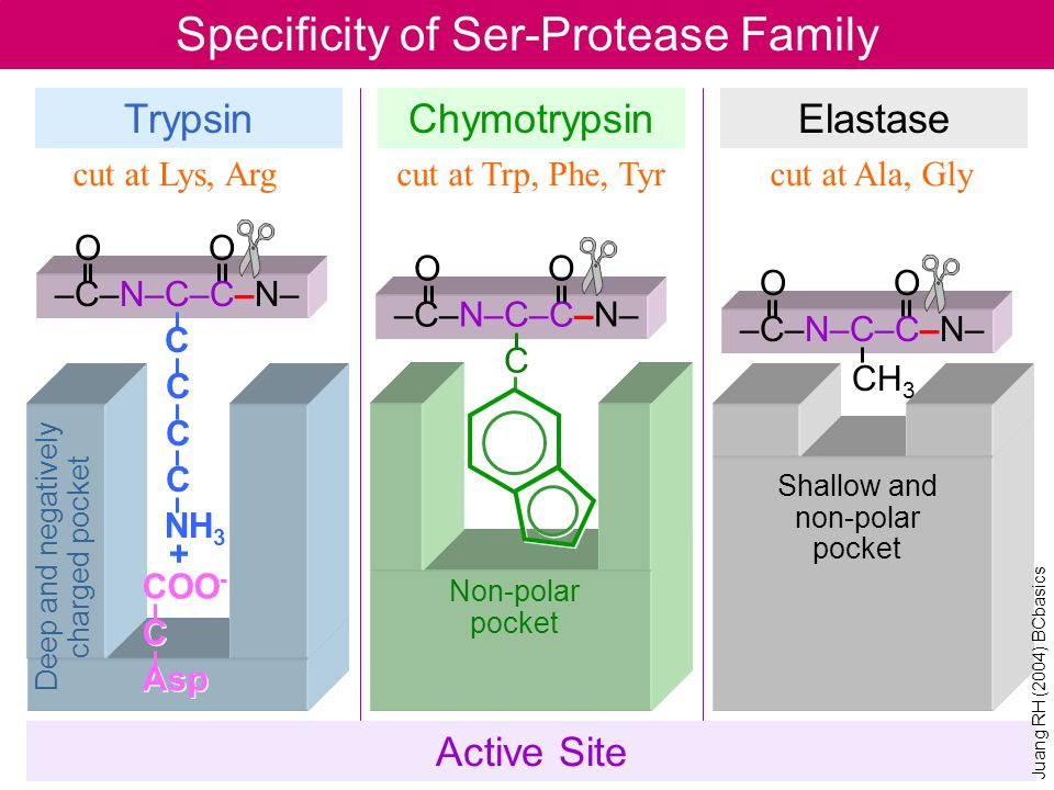 Specificity of Ser-Protease Family