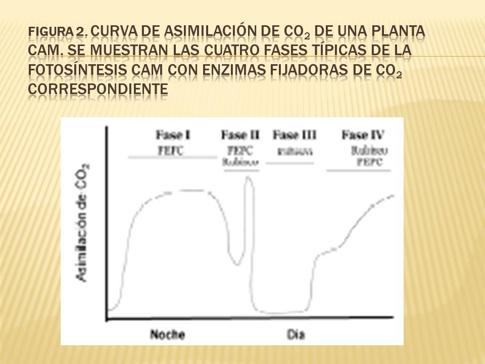 FIGURA 2. Curva de asimilación de CO2 de una planta CAM