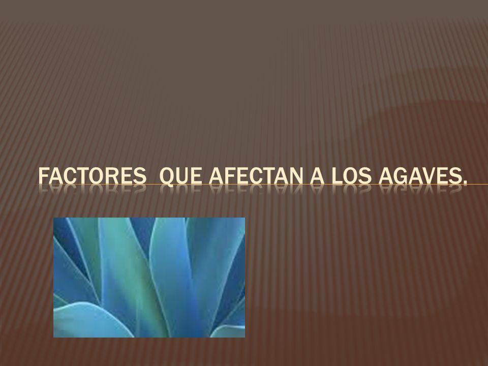 Factores que afectan a los agaves.