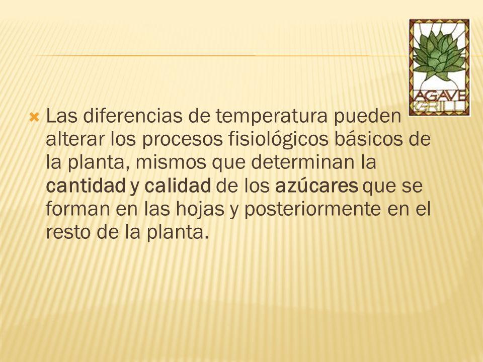 Las diferencias de temperatura pueden alterar los procesos fisiológicos básicos de la planta, mismos que determinan la cantidad y calidad de los azúcares que se forman en las hojas y posteriormente en el resto de la planta.