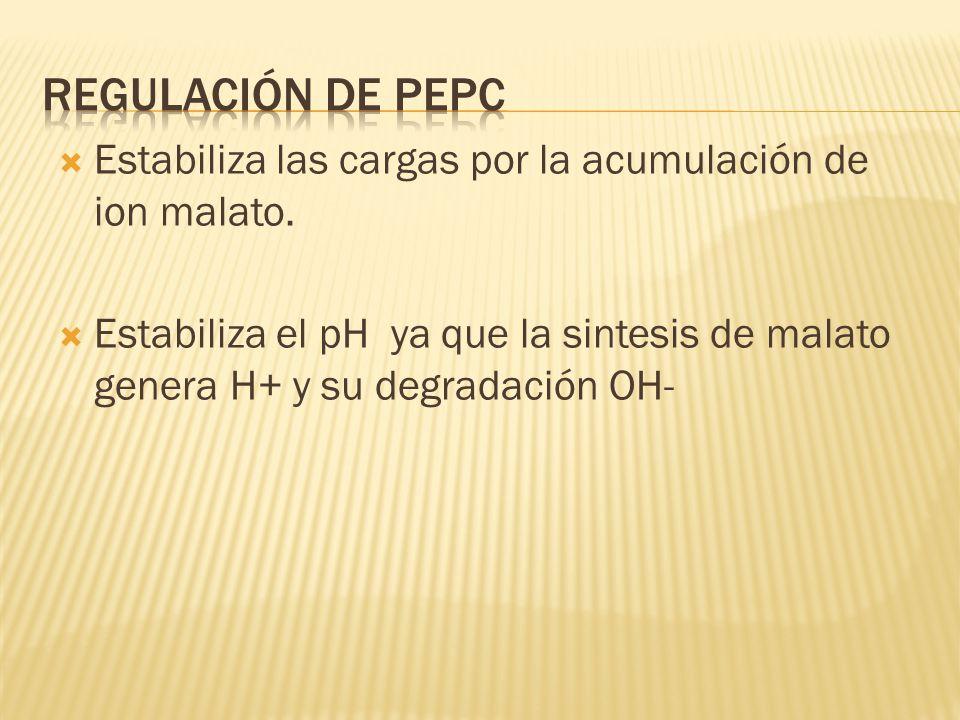 Regulación de PEPC Estabiliza las cargas por la acumulación de ion malato.