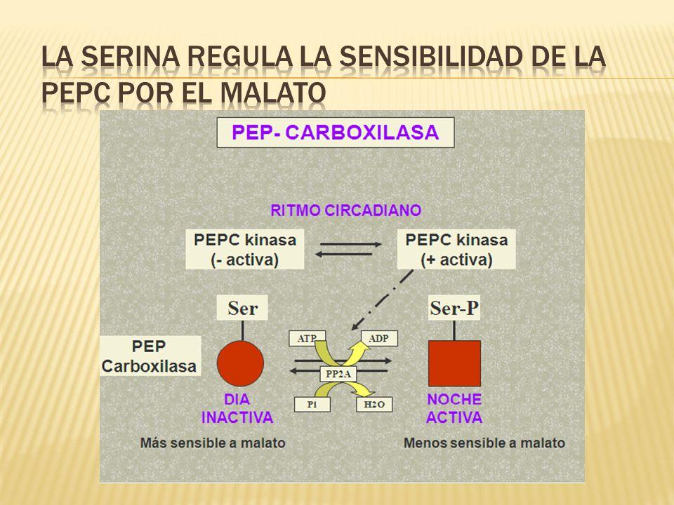 La serina regula la sensibilidad de la PEPC por el malato