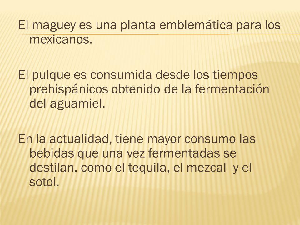 El maguey es una planta emblemática para los mexicanos