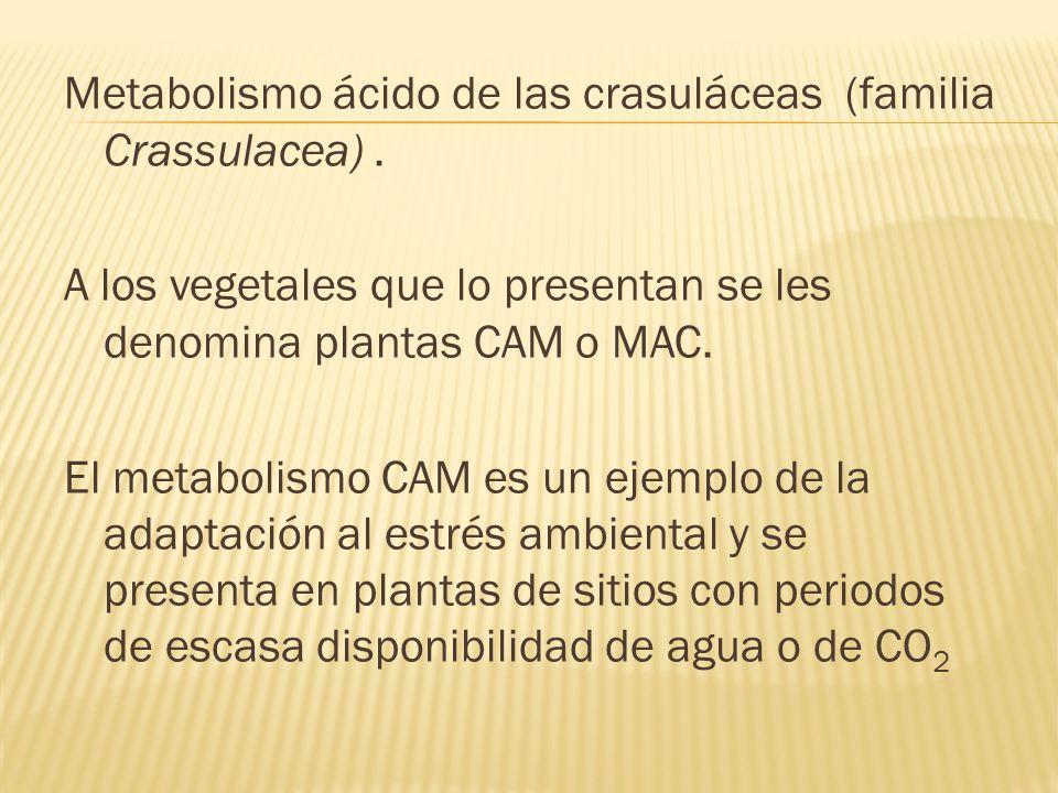 Metabolismo ácido de las crasuláceas (familia Crassulacea)