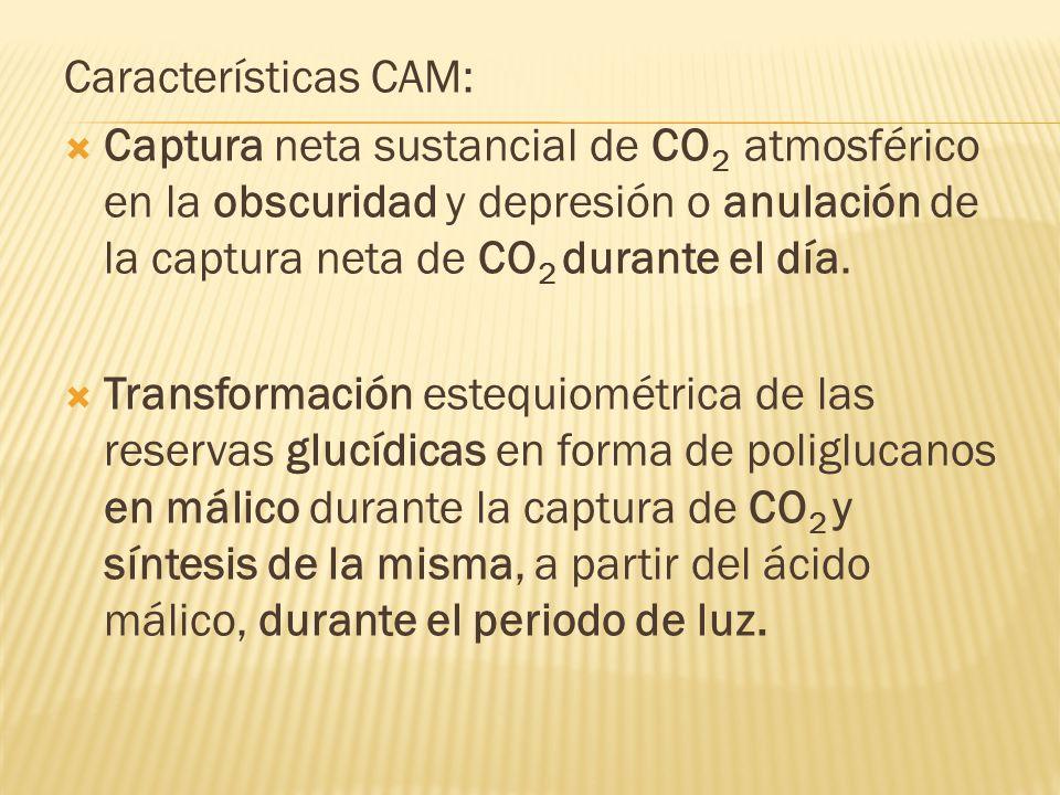 Características CAM: Captura neta sustancial de CO2 atmosférico en la obscuridad y depresión o anulación de la captura neta de CO2 durante el día.