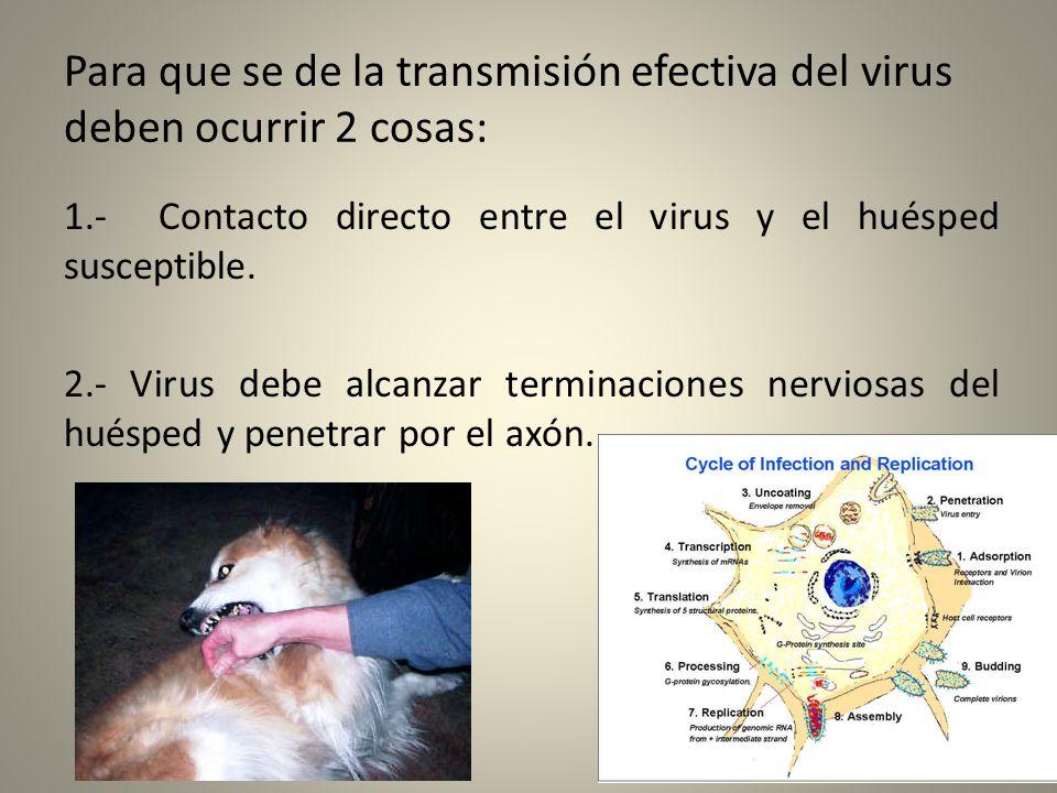 Para que se de la transmisión efectiva del virus deben ocurrir 2 cosas: