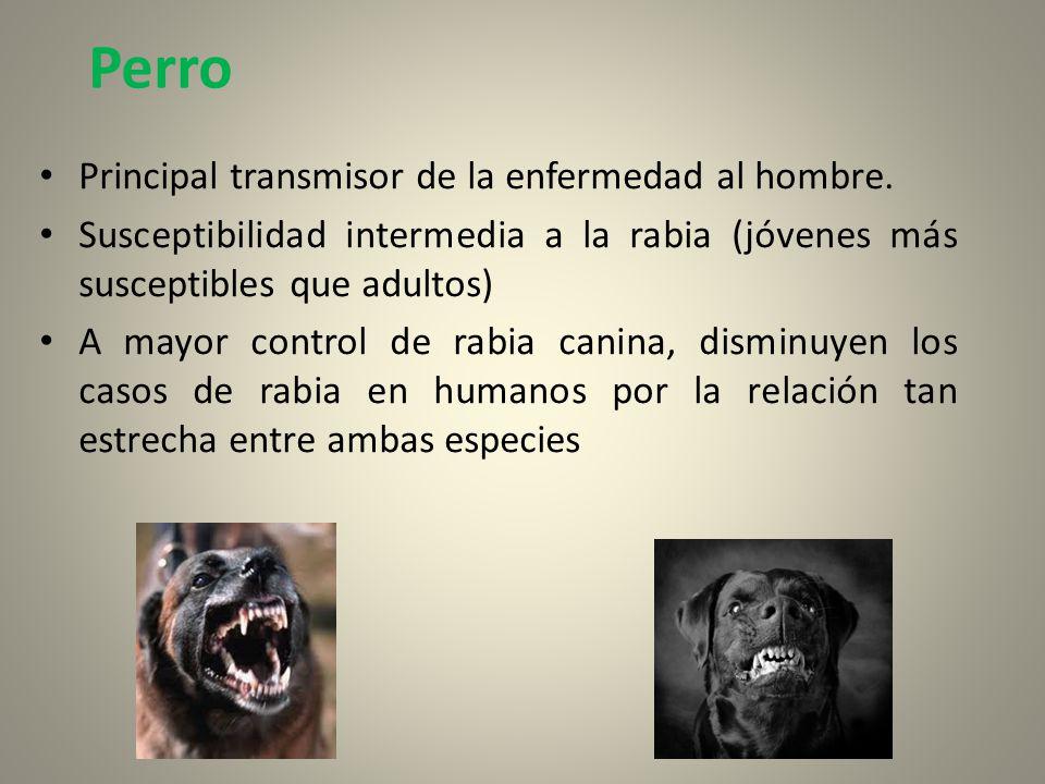 Perro Principal transmisor de la enfermedad al hombre.