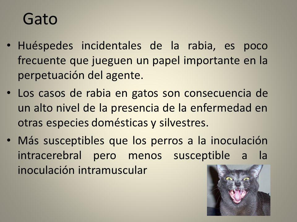 Gato Huéspedes incidentales de la rabia, es poco frecuente que jueguen un papel importante en la perpetuación del agente.