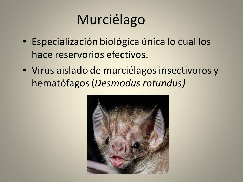 Murciélago Especialización biológica única lo cual los hace reservorios efectivos.