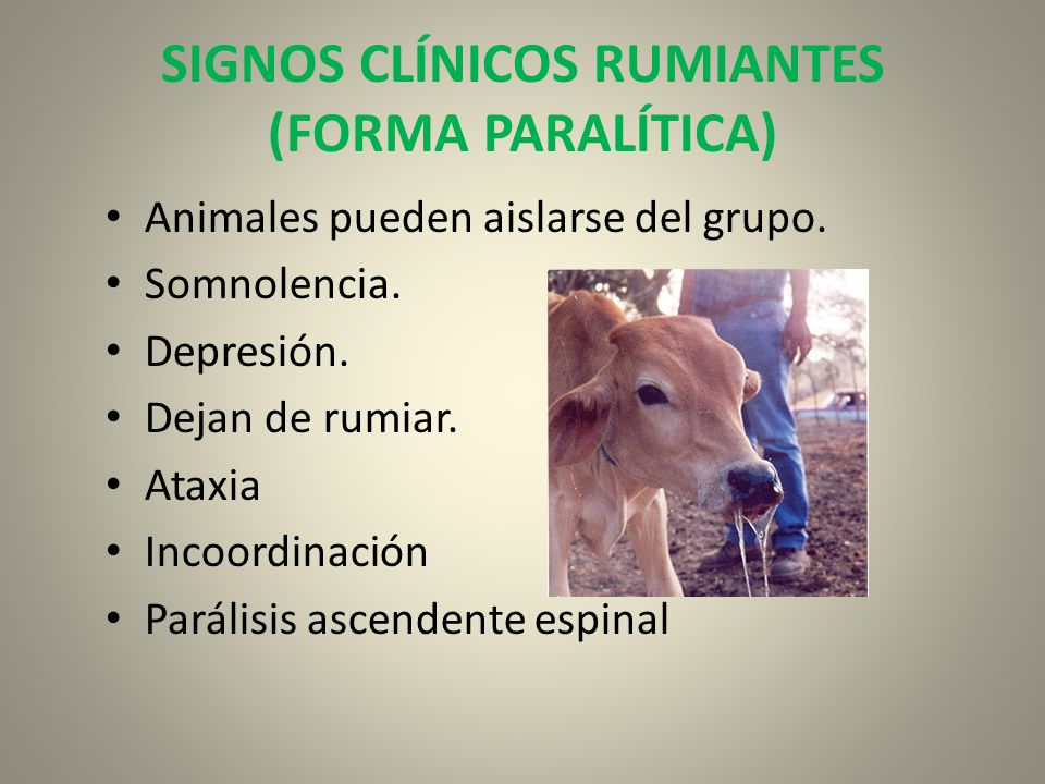 SIGNOS CLÍNICOS RUMIANTES (FORMA PARALÍTICA)