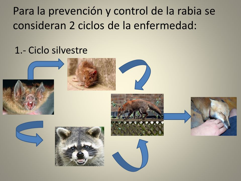 Para la prevención y control de la rabia se consideran 2 ciclos de la enfermedad: