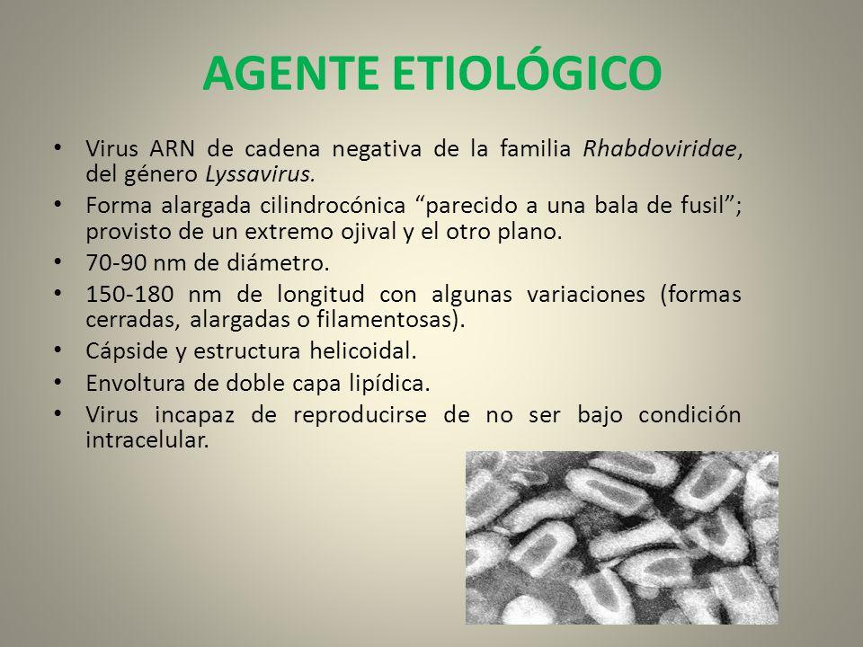 AGENTE ETIOLÓGICO Virus ARN de cadena negativa de la familia Rhabdoviridae, del género Lyssavirus.