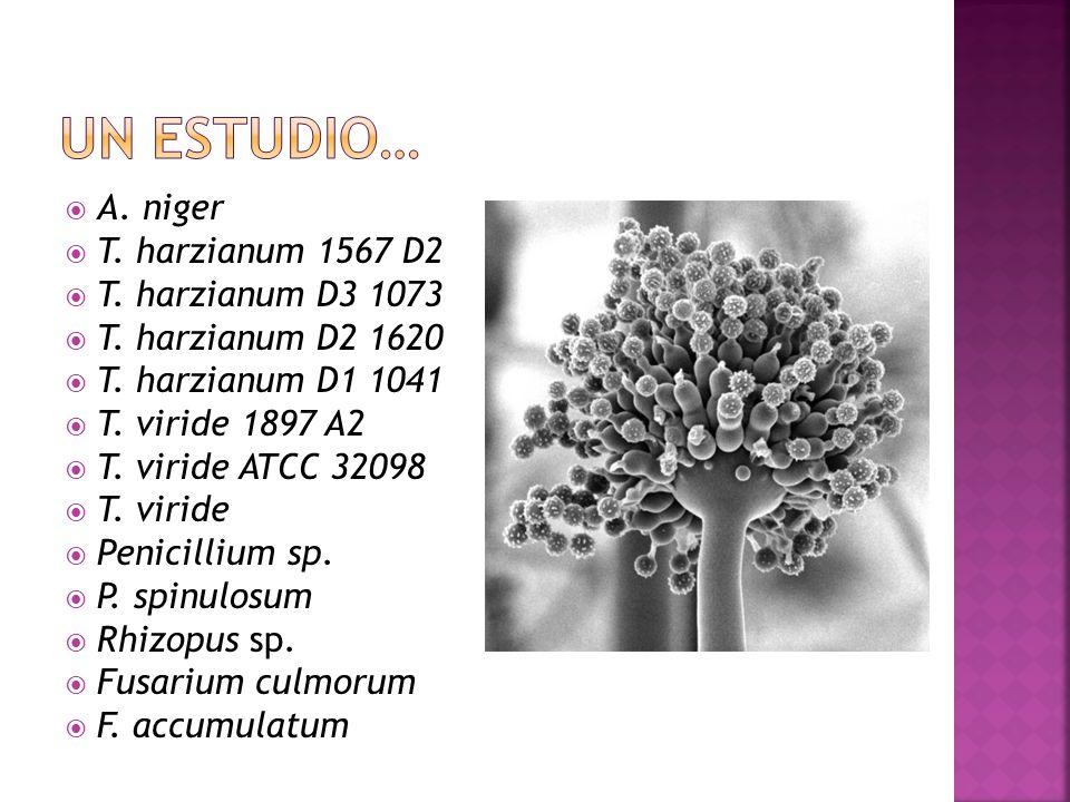 Un estudio… A. niger T. harzianum 1567 D2 T. harzianum D3 1073