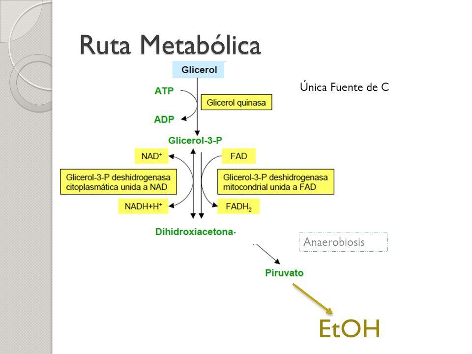 Ruta Metabólica Única Fuente de C Anaerobiosis EtOH