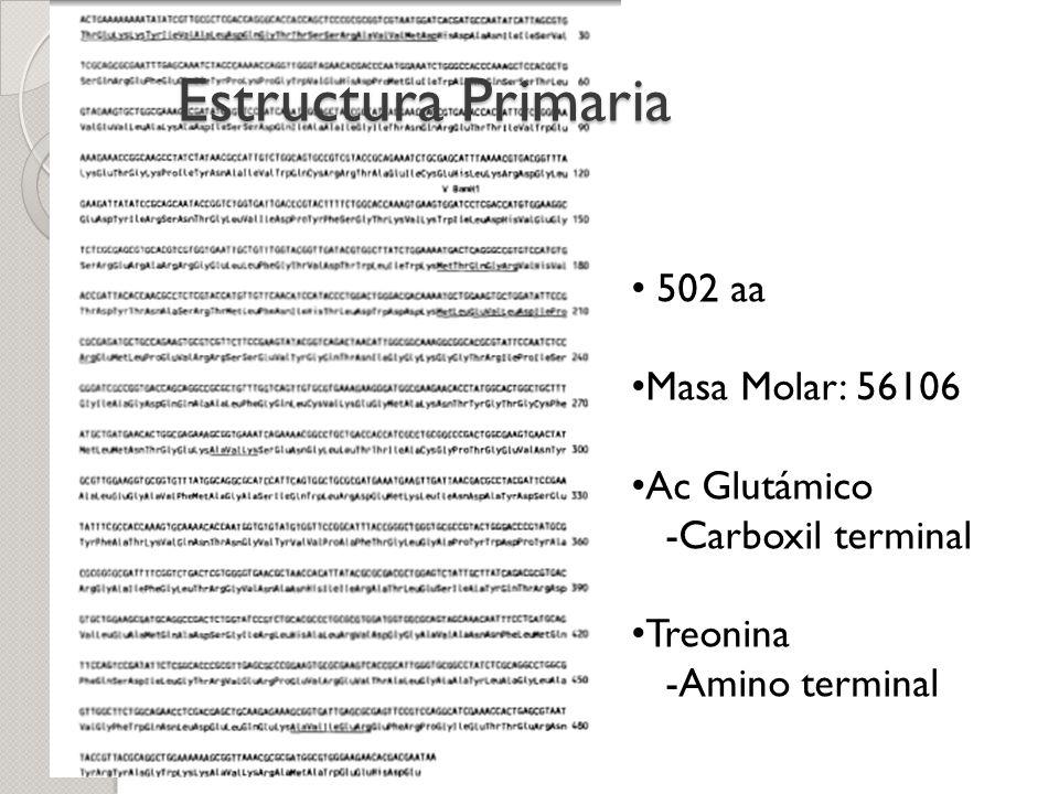 Estructura Primaria 502 aa Masa Molar: 56106 Ac Glutámico