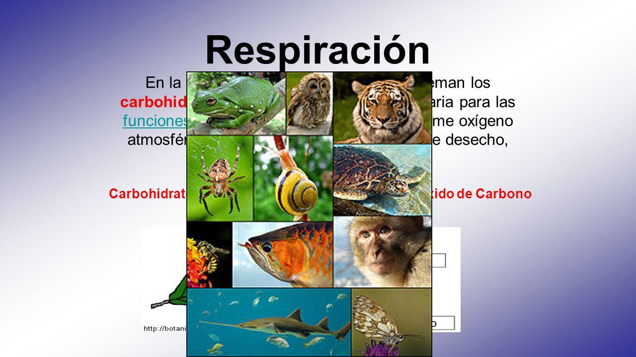 Respiración En la respiración, por el contrario, se queman los carbohidratos, aportando la energía necesaria para las funciones vitales. En este proceso se consume oxígeno atmosférico y se arrojan, como productos de desecho, dióxido de carbono y agua.
