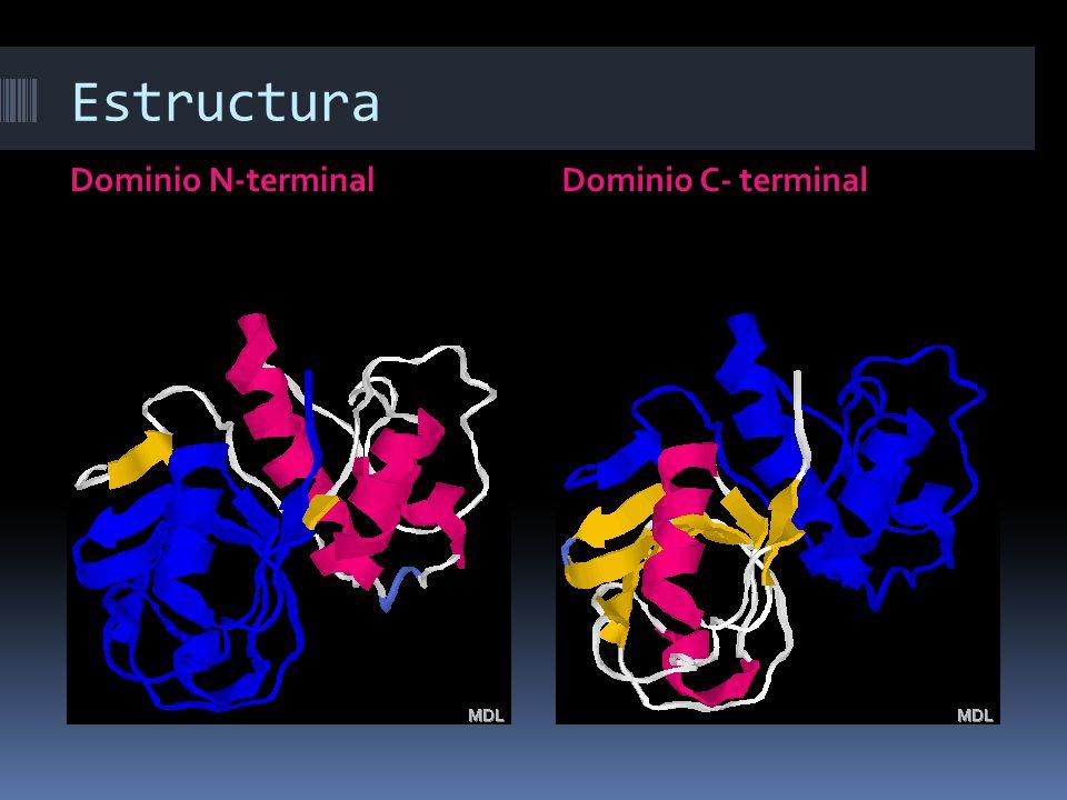 Estructura Dominio N-terminal Dominio C- terminal
