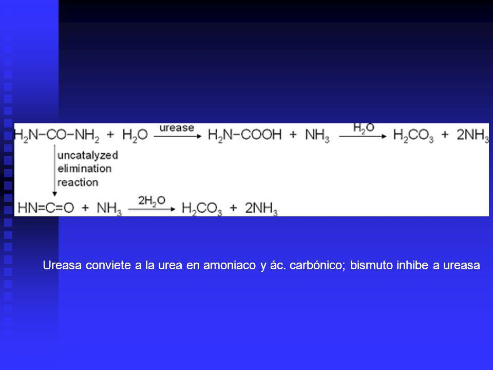 Ureasa conviete a la urea en amoniaco y ác