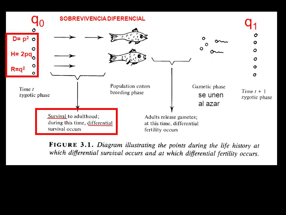 q0 q1 SOBREVIVENCIA DIFERENCIAL D= p2 H= 2pq R=q2 se unen al azar