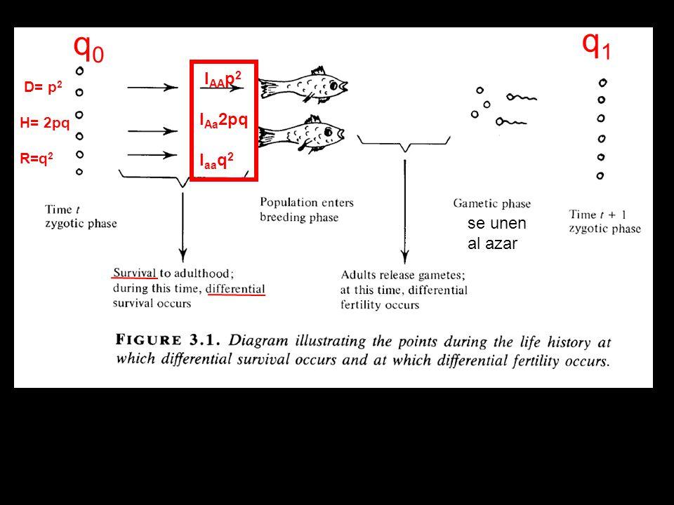 q0 q1 lAAp2 lAa2pq laaq2 D= p2 H= 2pq R=q2 se unen al azar