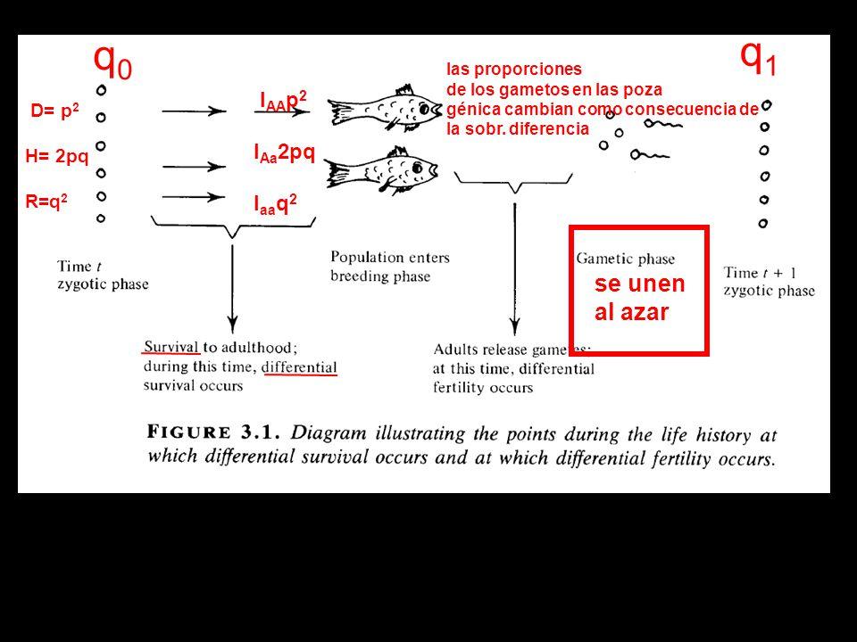 q1 q0 se unen al azar lAAp2 lAa2pq laaq2 D= p2 H= 2pq R=q2