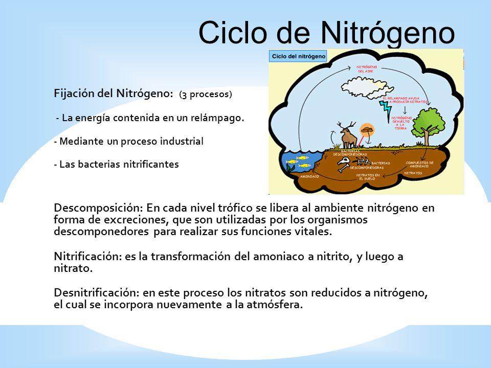 Ciclo de Nitrógeno Fijación del Nitrógeno: (3 procesos)