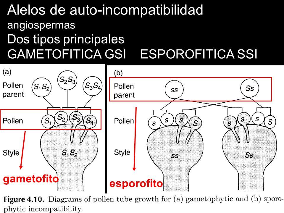 Alelos de auto-incompatibilidad angiospermas
