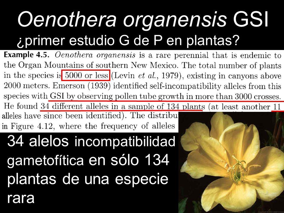 Oenothera organensis GSI