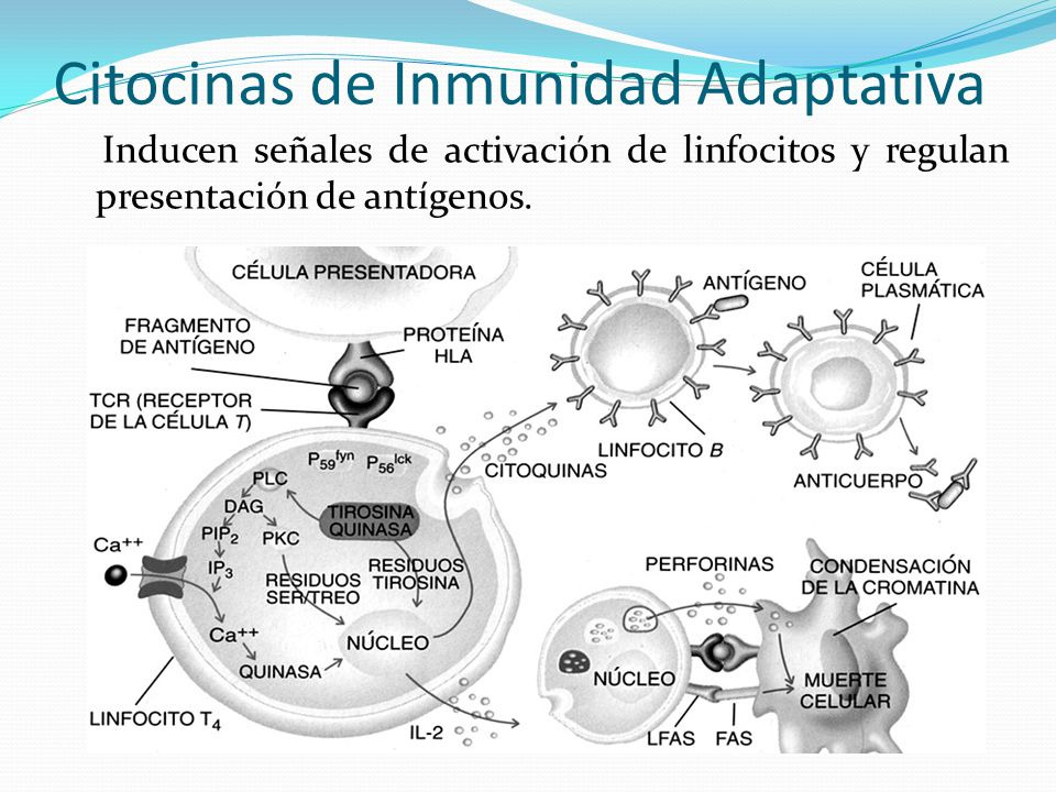 Citocinas de Inmunidad Adaptativa