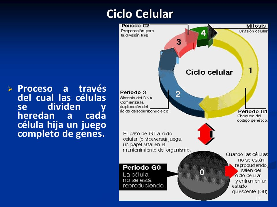 Ciclo Celular Proceso a través del cual las células se dividen y heredan a cada célula hija un juego completo de genes.