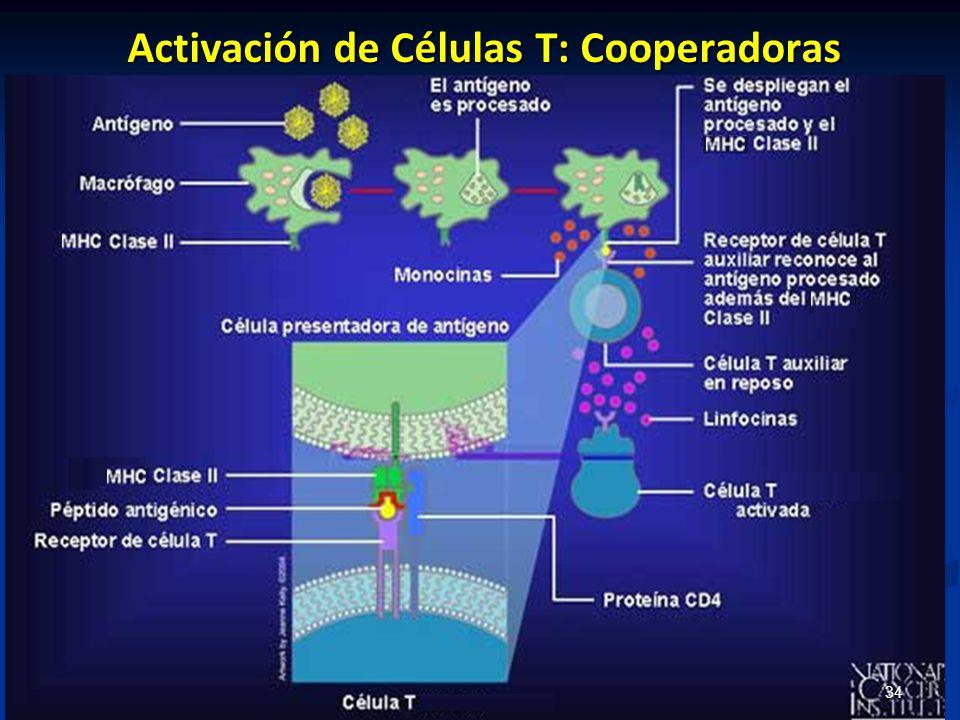 Activación de Células T: Cooperadoras