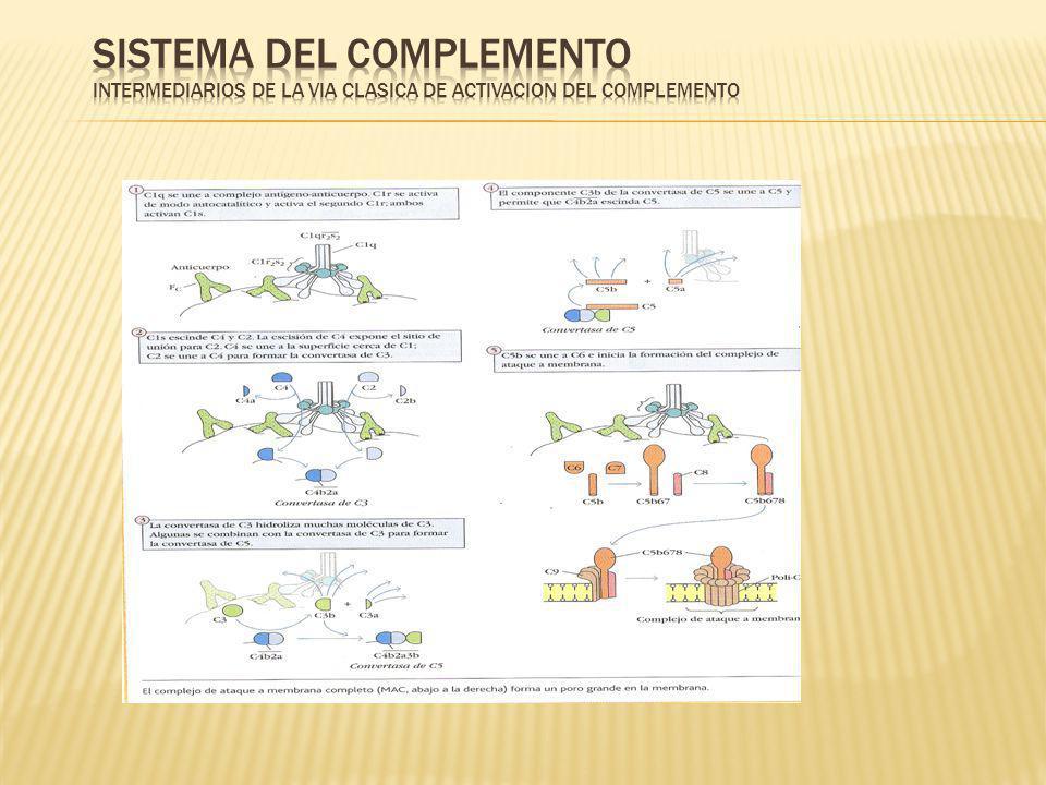 SISTEMA DEL COMPLEMENTO INTERMEDIARIOS DE LA VIA CLASICA DE ACTIVACION DEL COMPLEMENTO