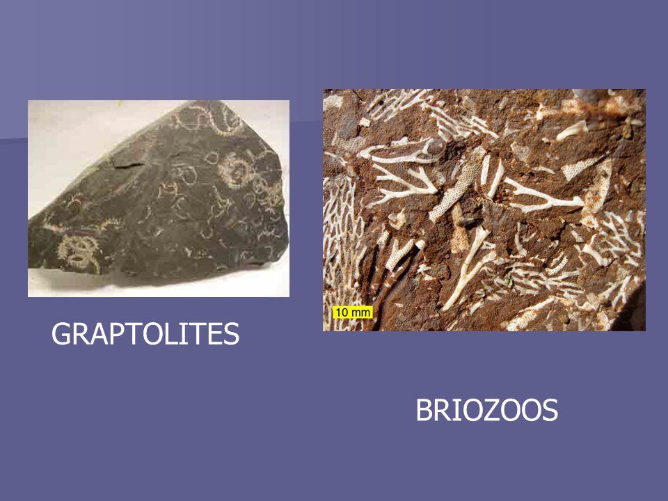 GRAPTOLITES BRIOZOOS