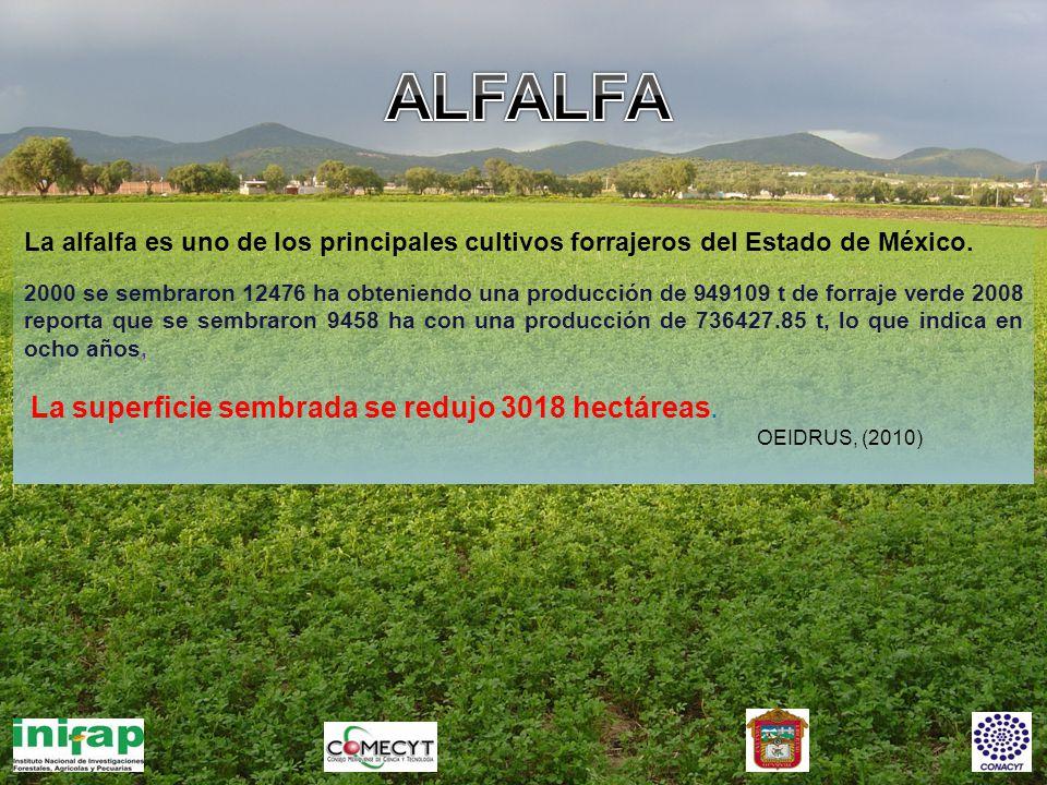 ALFALFA La alfalfa es uno de los principales cultivos forrajeros del Estado de México.