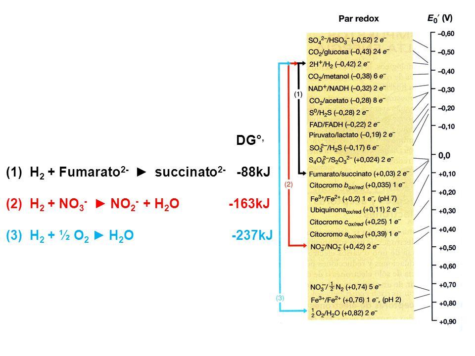 DG°, H2 + Fumarato2- ► succinato2- -88kJ. H2 + NO3- ► NO2- + H2O -163kJ.
