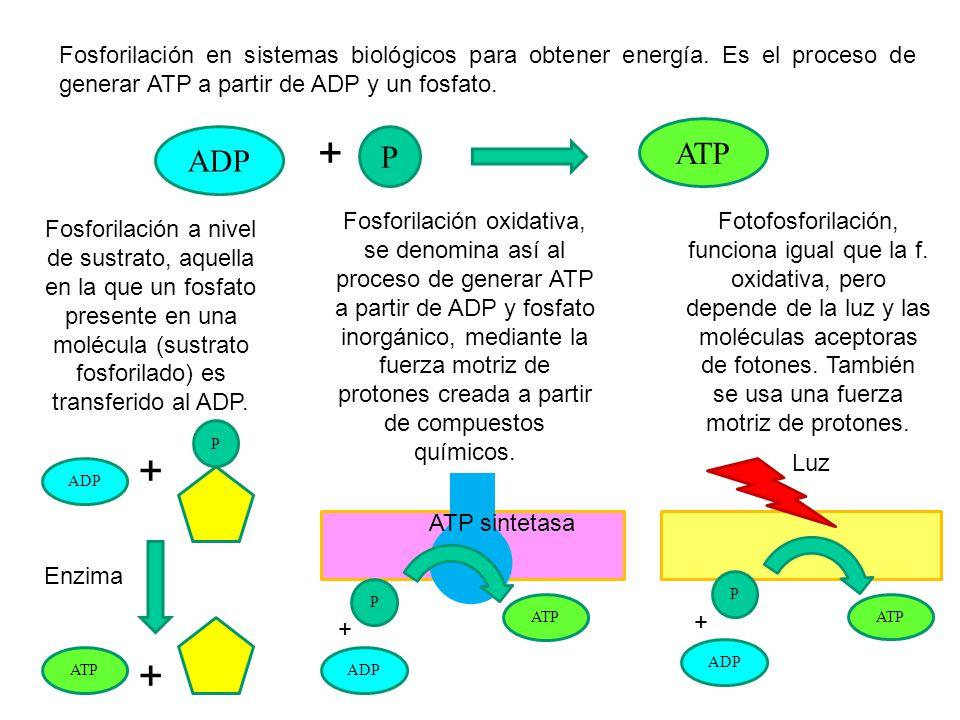 Fosforilación en sistemas biológicos para obtener energía