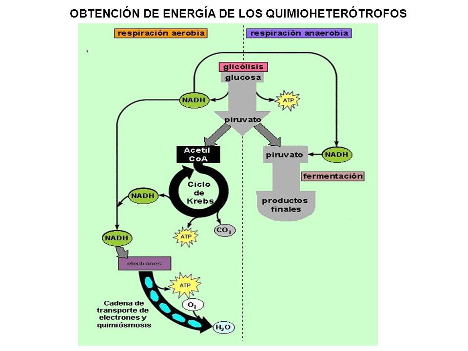OBTENCIÓN DE ENERGÍA DE LOS QUIMIOHETERÓTROFOS