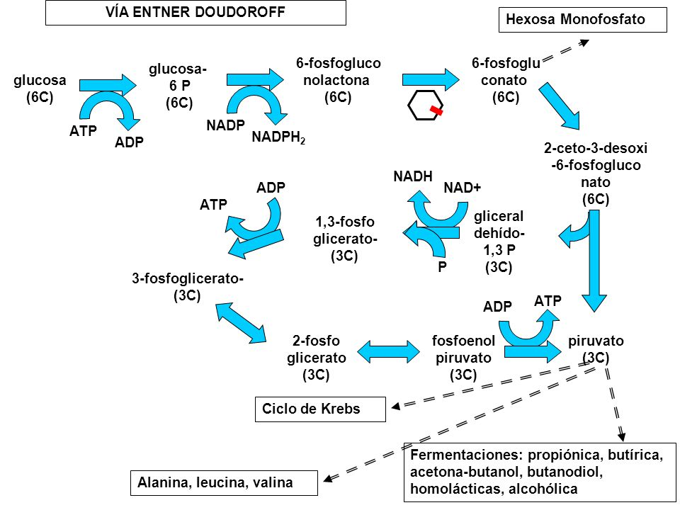 glucosa (6C) glucosa- 6 P. 6-fosfogluco. nolactona. 6-fosfoglu. conato. 2-ceto-3-desoxi. -6-fosfogluco.